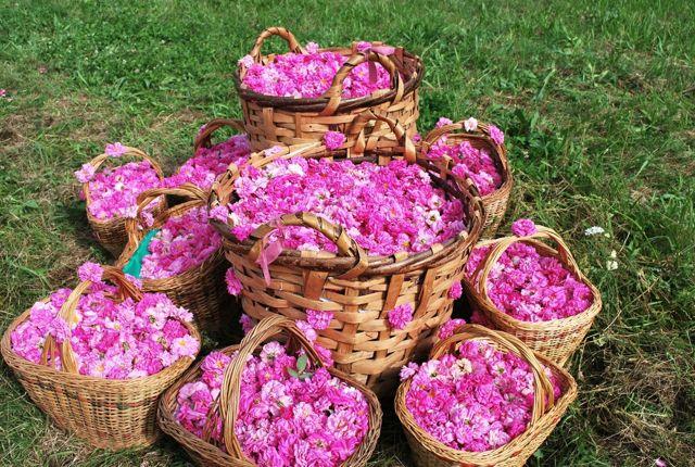Rose water festival
